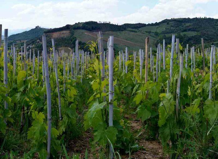 podere le ripi wineyard