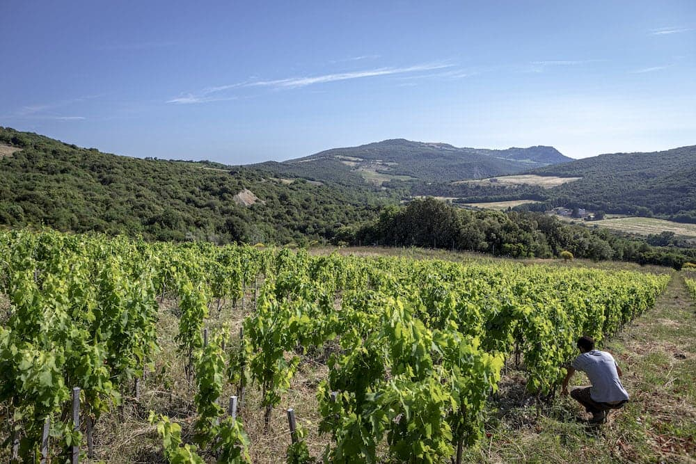 Bonsai vineyard in Montalcino