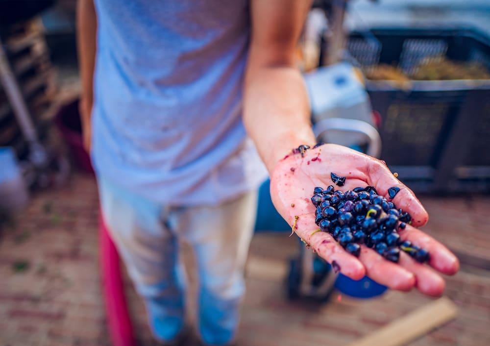 Montalcino wines fermentation at Podere Le Ripi